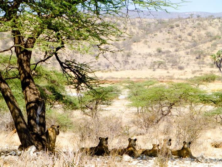 samburu-lions