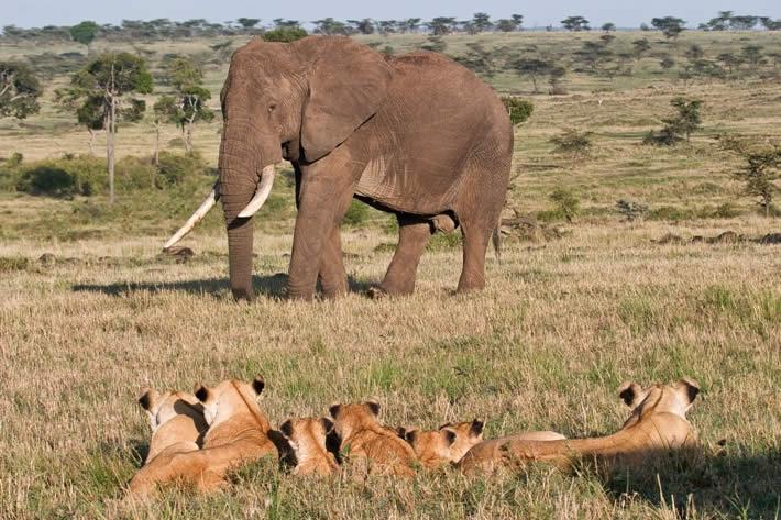 lions-elephants-mara