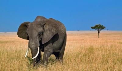 elephant-masai-mara