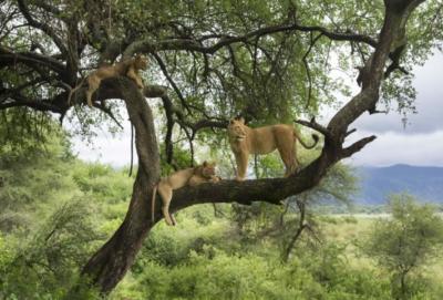 lake-manyara-lions
