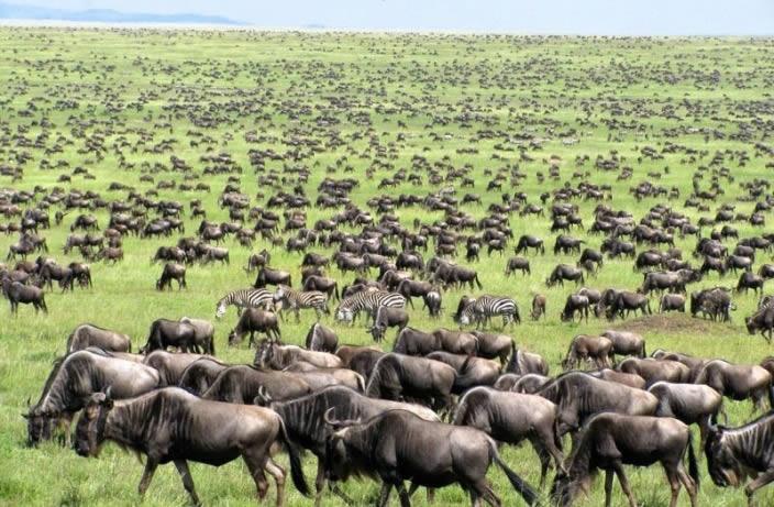 wildbeest-in-serengeti