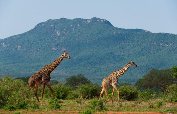 tsavo-safaris
