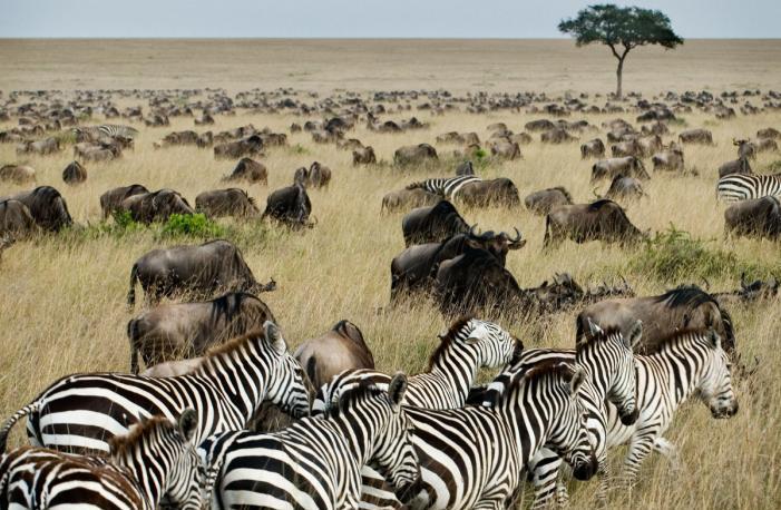 zebra-masai-mara